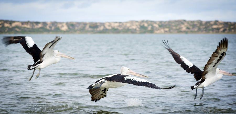 Cruise the Coorong Goolwa SA